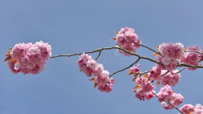 ανθών ελαφρύς μακρο φυσικός εστίασης λουλουδιών κερασιών διαφορικός στοκ εικόνες με δικαίωμα ελεύθερης χρήσης