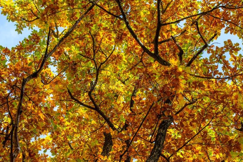 Ανοδικό βλασταημένο διάφορο χρώμα δέντρων φθινοπώρου δρύινο στοκ εικόνα με δικαίωμα ελεύθερης χρήσης