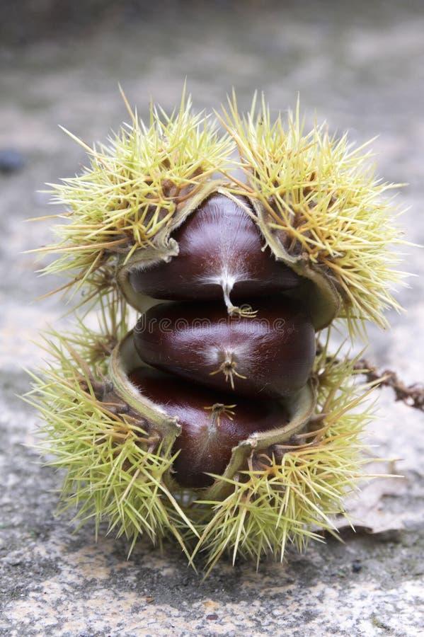 Ανοιγμένα sativa, γλυκά κάστανα castanea που κρύβονται στα ακανθωτά cupules, νόστιμα καφετιά φρούτα καρυδιών marron στοκ εικόνες