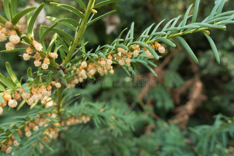 Ανοιγμένοι αρσενικοί κώνοι του yew στοκ φωτογραφία με δικαίωμα ελεύθερης χρήσης