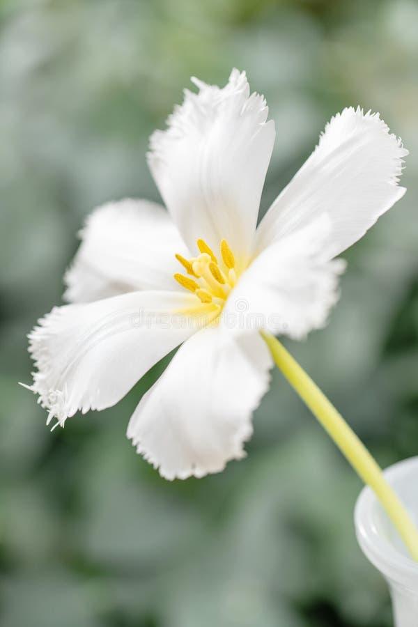 Ανοιγμένος οφθαλμός της ασυνήθιστης άσπρης τουλίπας Λουλούδι με πλαισιωμένος στο φυσικό φύλλωμα το πράσινο υπόβαθρο 9 πολύχρωμες  στοκ φωτογραφία με δικαίωμα ελεύθερης χρήσης