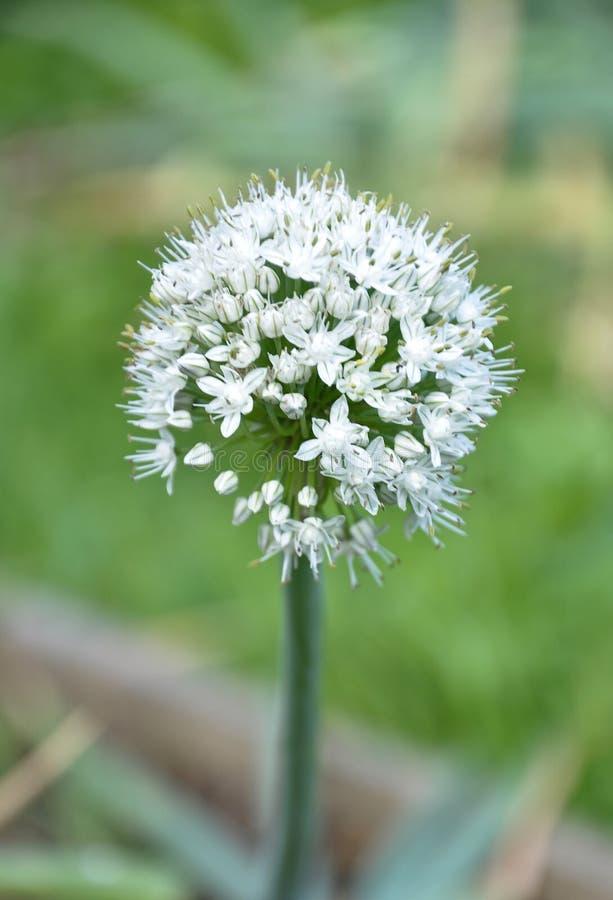 Ανοιγμένος umbel του λουλουδιού κρεμμυδιών σε πράσινο στοκ φωτογραφίες