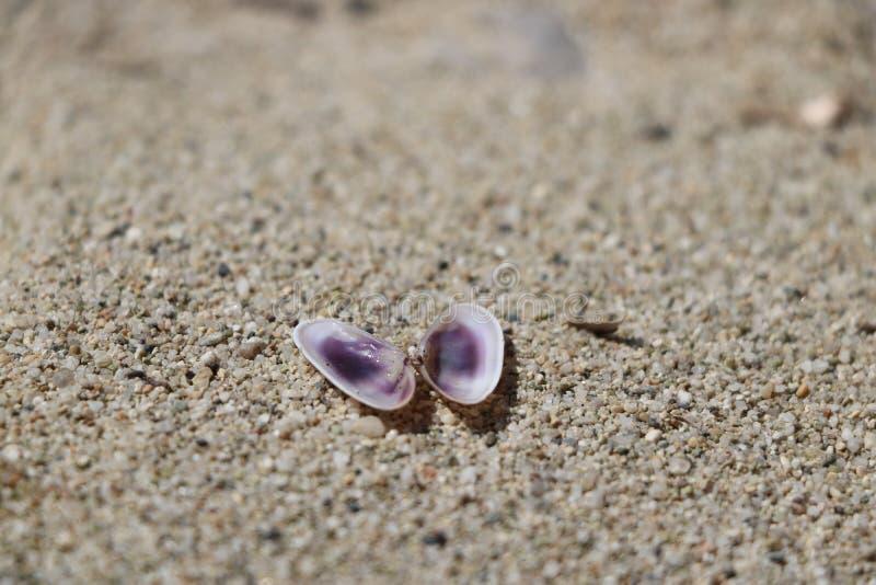 Ανοιγμένο θαλασσινό κοχύλι στην άμμο στοκ εικόνα με δικαίωμα ελεύθερης χρήσης