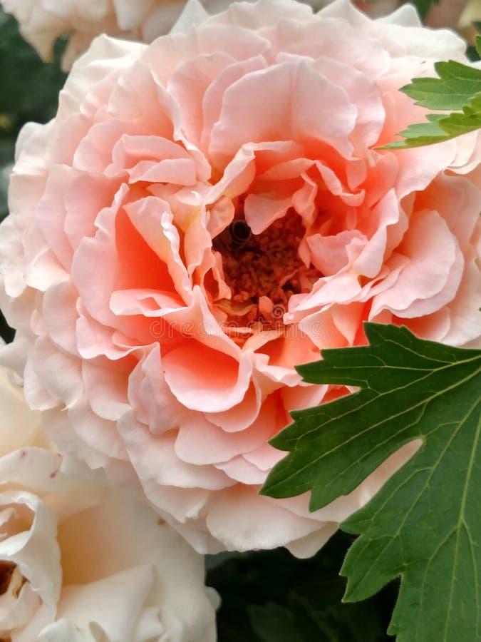 Ανοιγμένο μπουμπούκι τριαντάφυλλου του τρυφερού πορτοκαλιού χρώματος στοκ φωτογραφίες