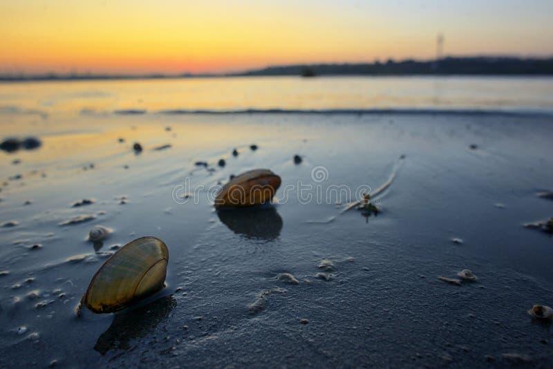 Ανοικτά κοχύλια μυδιών στην άμμο στοκ εικόνα
