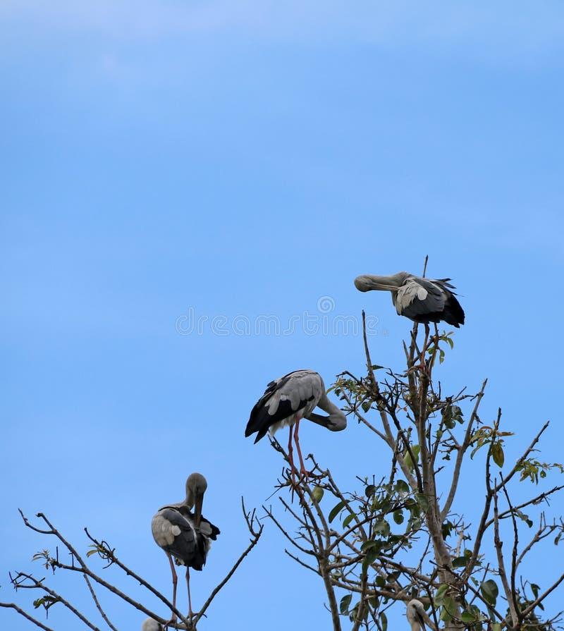 Ανοικτή τιμολογημένη πέρκα πουλιών πελαργών τρία στην κορυφή του δέντρου και των καθαρίζοντας φτερών στο υπόβαθρο μπλε ουρανού στοκ εικόνες