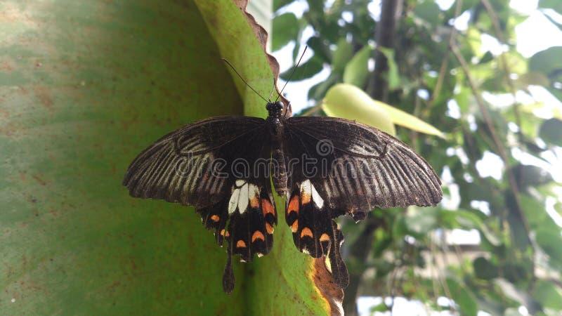 Ανοικτή φτερωτή μαύρη πεταλούδα στοκ φωτογραφίες με δικαίωμα ελεύθερης χρήσης