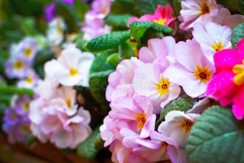 Ανοικτό βιολετί λουλούδια άνοιξη Primula με την κίτρινη μέση και σταγόνες βροχής στα πέταλα στοκ φωτογραφία με δικαίωμα ελεύθερης χρήσης