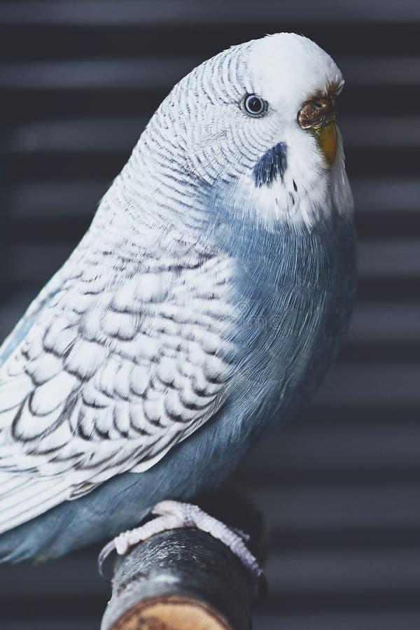 Ανοικτό μπλε θηλυκό budgie που εξετάζει τη κάμερα στοκ εικόνα