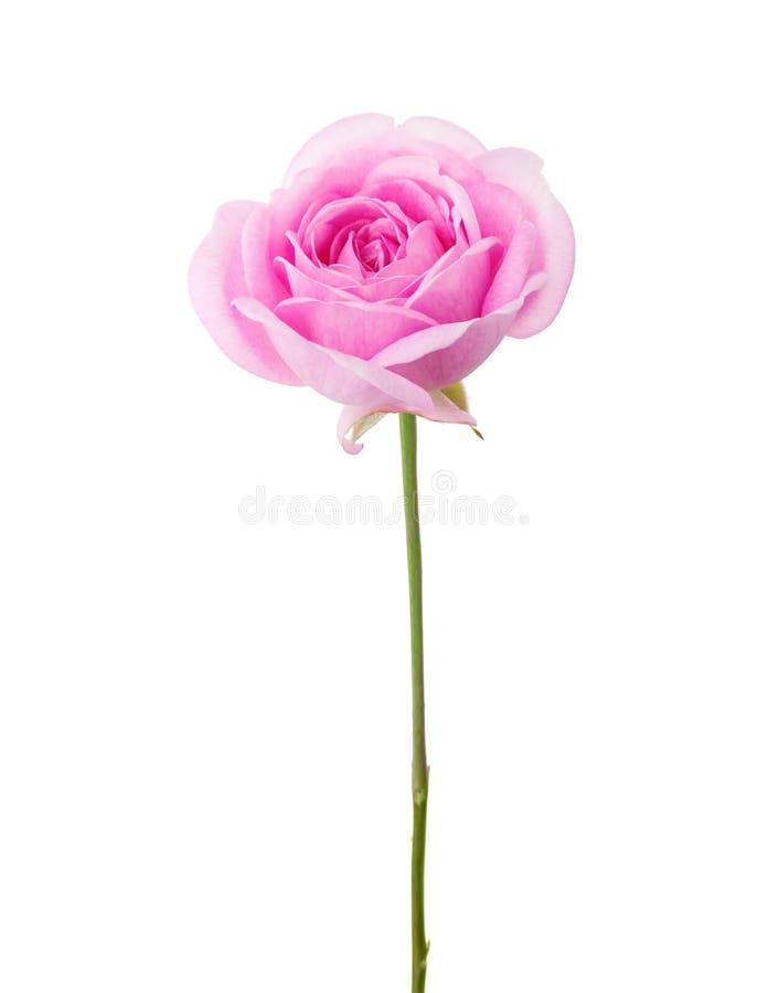 Ανοικτό ροζ αυξήθηκε απομονωμένος στο άσπρο υπόβαθρο στοκ εικόνα