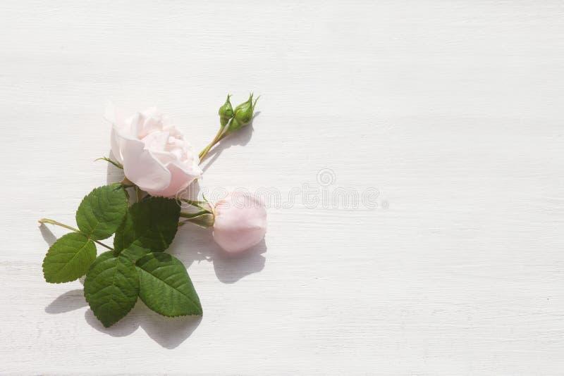 Ανοικτό ροζ αυξήθηκε στο άσπρο αγροτικό ξύλινο υπόβαθρο r στοκ εικόνες