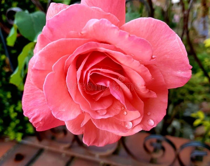 Ανοικτό ροζ λουλούδι στοκ εικόνα με δικαίωμα ελεύθερης χρήσης