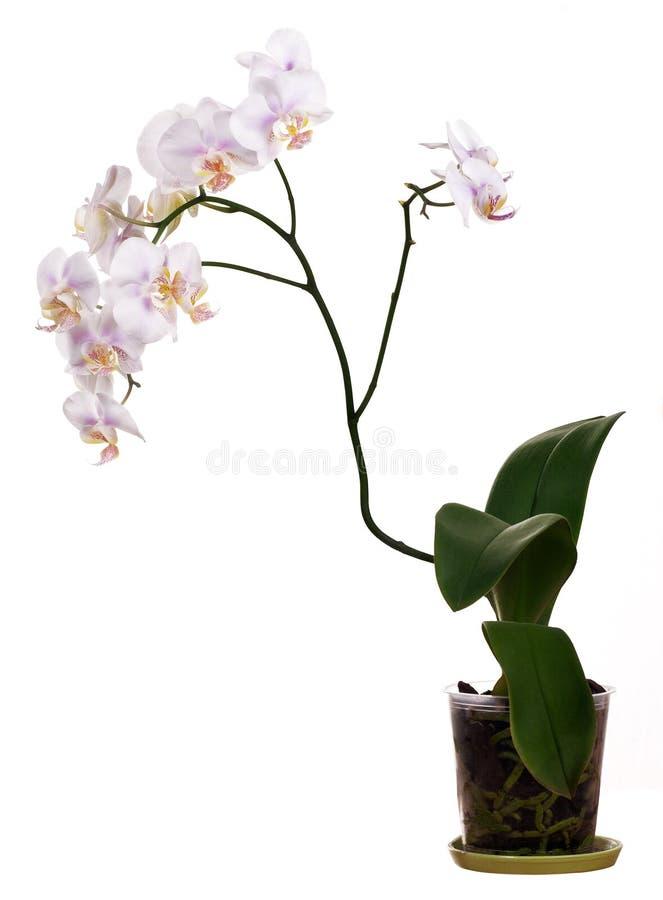Ελαφρύ orchid λουλούδι στο δοχείο στο άσπρο υπόβαθρο στοκ φωτογραφία με δικαίωμα ελεύθερης χρήσης