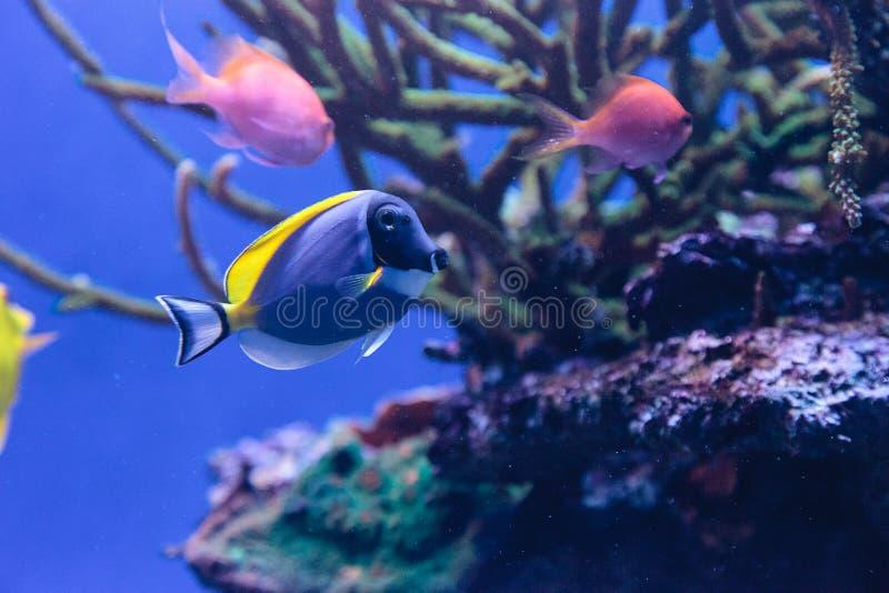 Ανοιχτά μπλε ψάρια Acanthurus γεύσης leucosternon στοκ φωτογραφία με δικαίωμα ελεύθερης χρήσης
