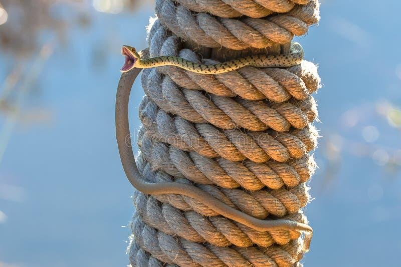 Ανοιχτό επισημασμένο φίδι του Μπους σε Πολωνό στοκ εικόνα
