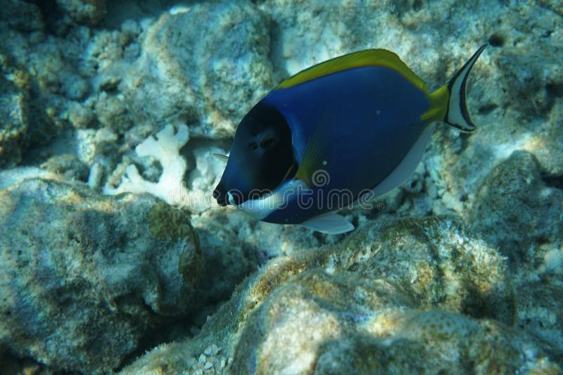 Ανοιχτό μπλε surgeonfish Acanthurus leucosternon στοκ φωτογραφία με δικαίωμα ελεύθερης χρήσης