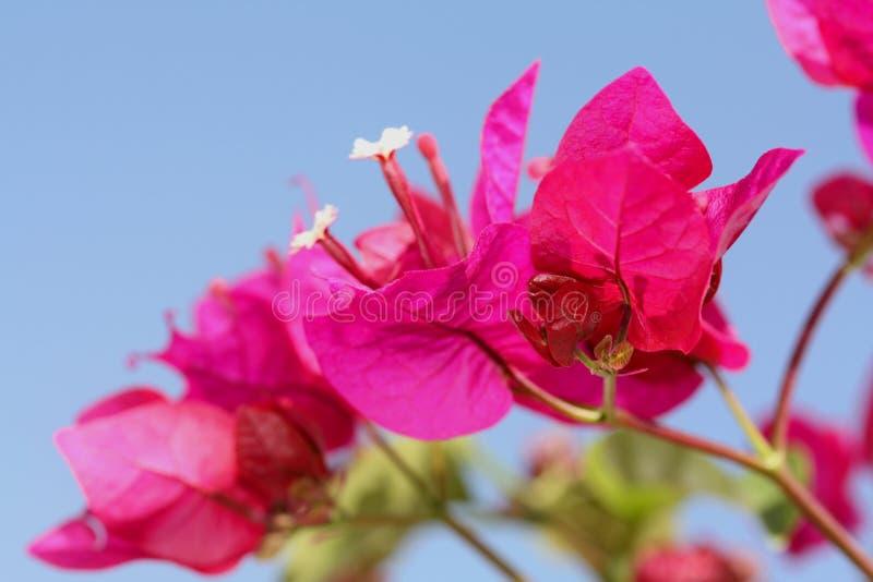 ανοιχτό ροζ bougainvillea στοκ εικόνες