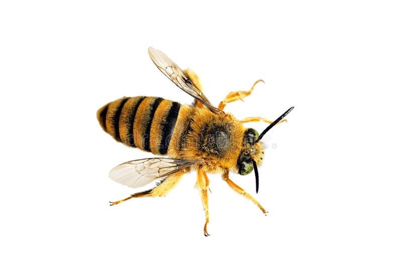 αντέξτε τη μέλισσα teddy στοκ φωτογραφίες με δικαίωμα ελεύθερης χρήσης