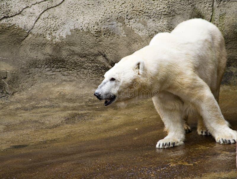 αντέξτε τον πολικό ζωολογικό κήπο στοκ φωτογραφία με δικαίωμα ελεύθερης χρήσης
