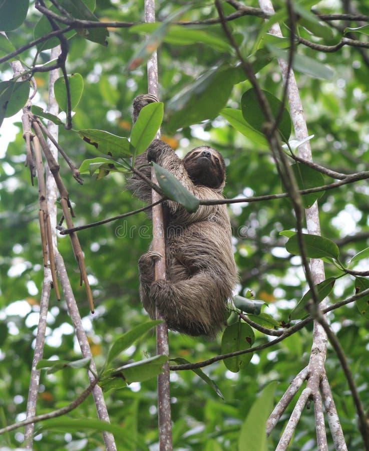 αντέξτε το οκνηρό oso perezoso στοκ φωτογραφίες με δικαίωμα ελεύθερης χρήσης