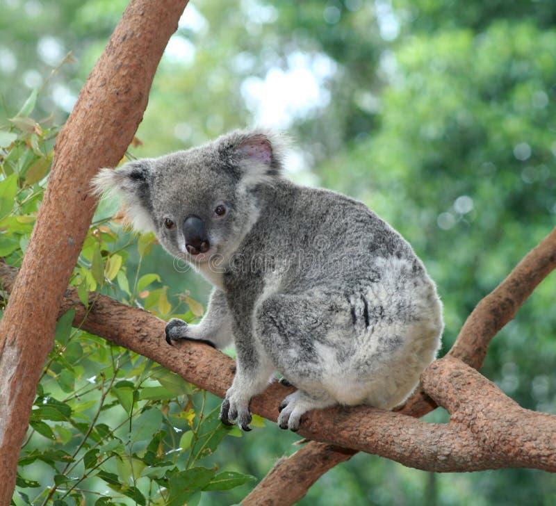Download αντέξτε το koala στοκ εικόνα. εικόνα από γκρίζος, μικρός - 787771