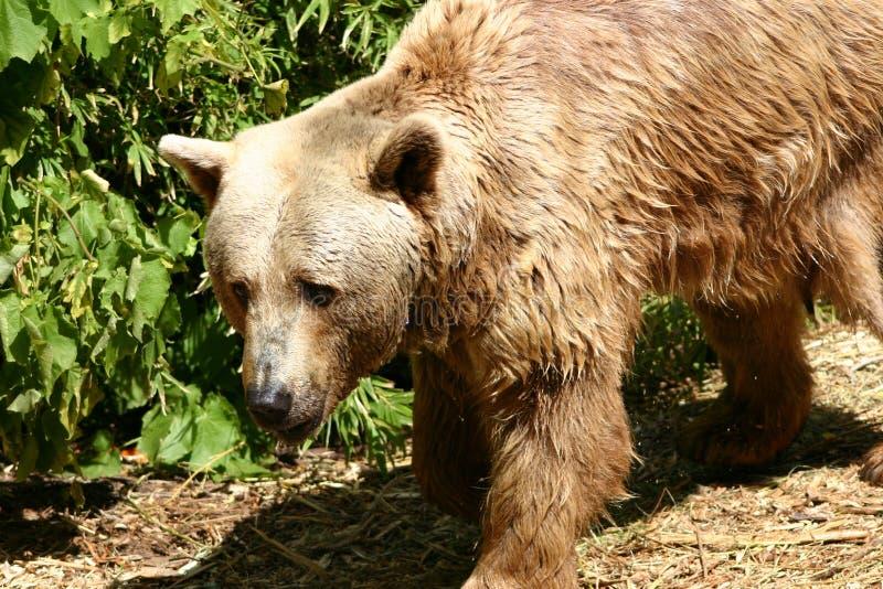Download αντέξτε στοκ εικόνες. εικόνα από τεράστιος, wildlife, επικίνδυνος - 93958