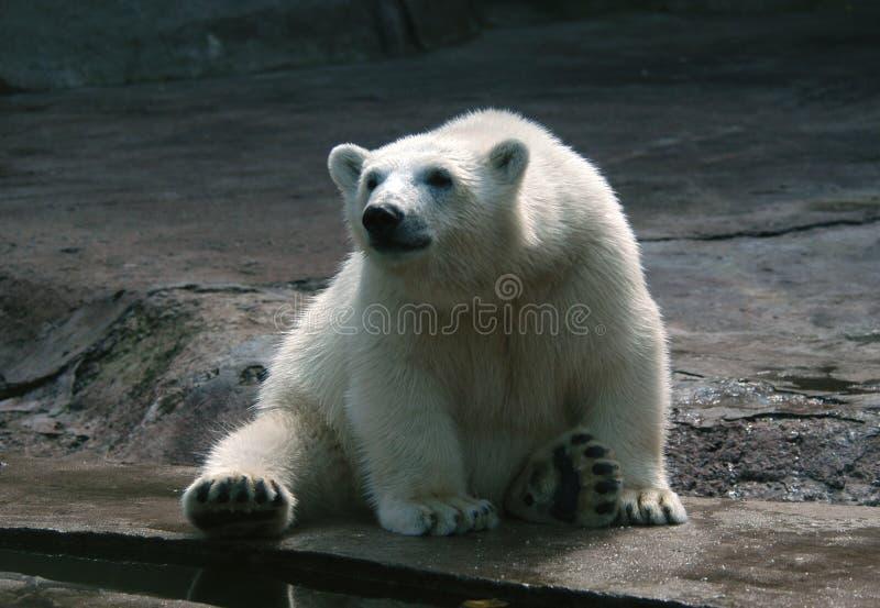 Download αντέξτε cub πολικό στοκ εικόνες. εικόνα από άσπρος, καλός - 382026