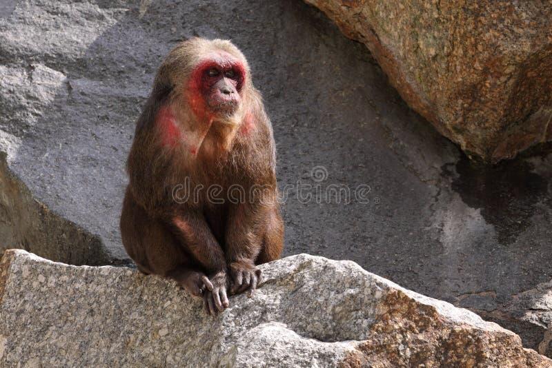 αντέξτε macaque στοκ εικόνες με δικαίωμα ελεύθερης χρήσης