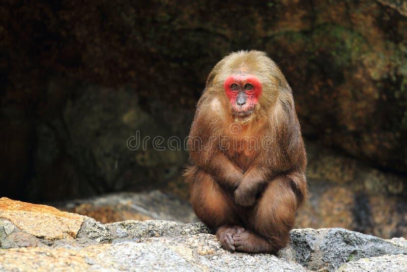 Αντέξτε macaque στοκ εικόνα με δικαίωμα ελεύθερης χρήσης