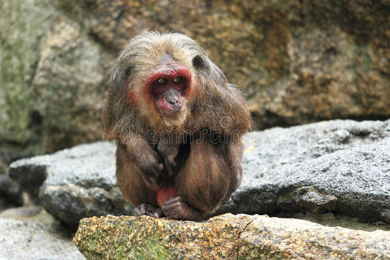 Αντέξτε macaque στοκ εικόνα