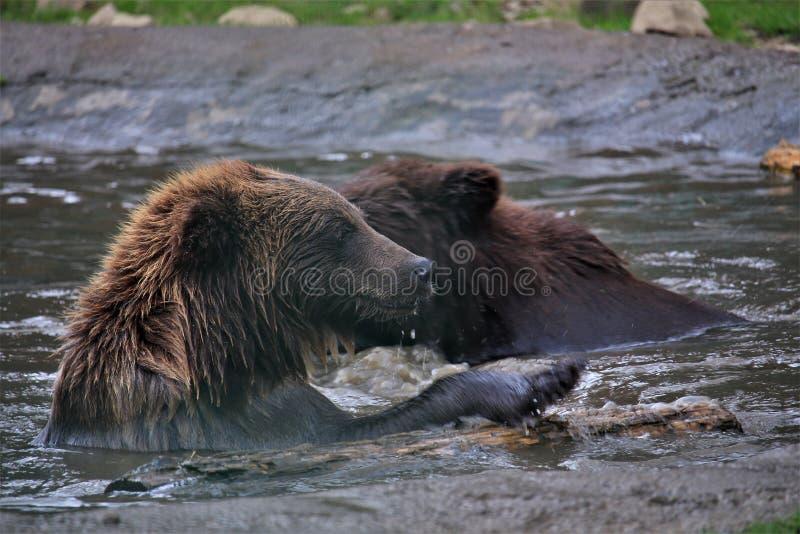 Αντέχει κολυμπά στον ποταμό σε ένα καυτό καλοκαίρι στοκ εικόνες