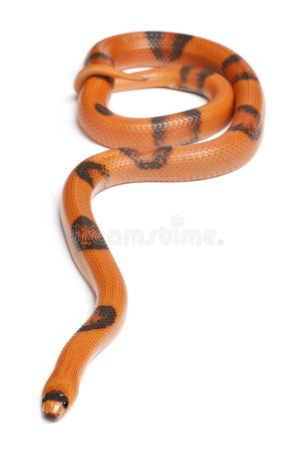 Αντίστροφο Honduran φίδι γάλακτος Hypomelanistic στοκ φωτογραφία