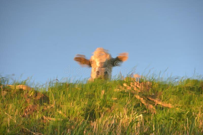 Αντανάκλαση αγελάδων στοκ εικόνα με δικαίωμα ελεύθερης χρήσης