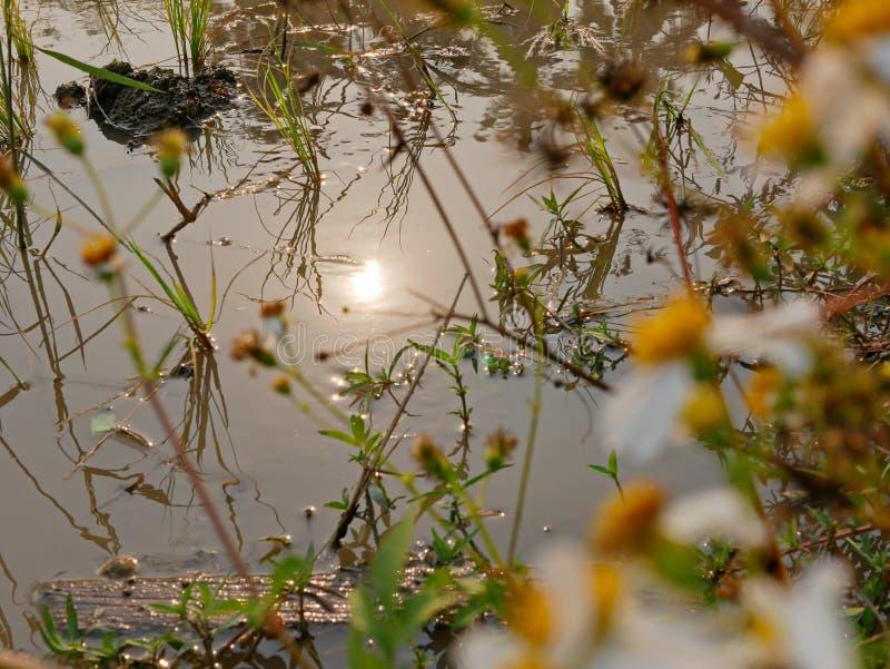 Αντανάκλαση του ήλιου στο νερό ενός ορυζώνα τομέα το καυτό απόγευμα στην αγροτική περιοχή Chiang Mai, Ταϊλάνδη στοκ εικόνες