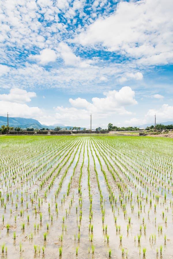Αντανάκλαση των τομέων ορυζώνα, όμορφο φυσικό τοπίο των πράσινων τομέων ρυζιού σε αγροτικό Chishang, Taitung, Ταϊβάν στοκ φωτογραφία με δικαίωμα ελεύθερης χρήσης