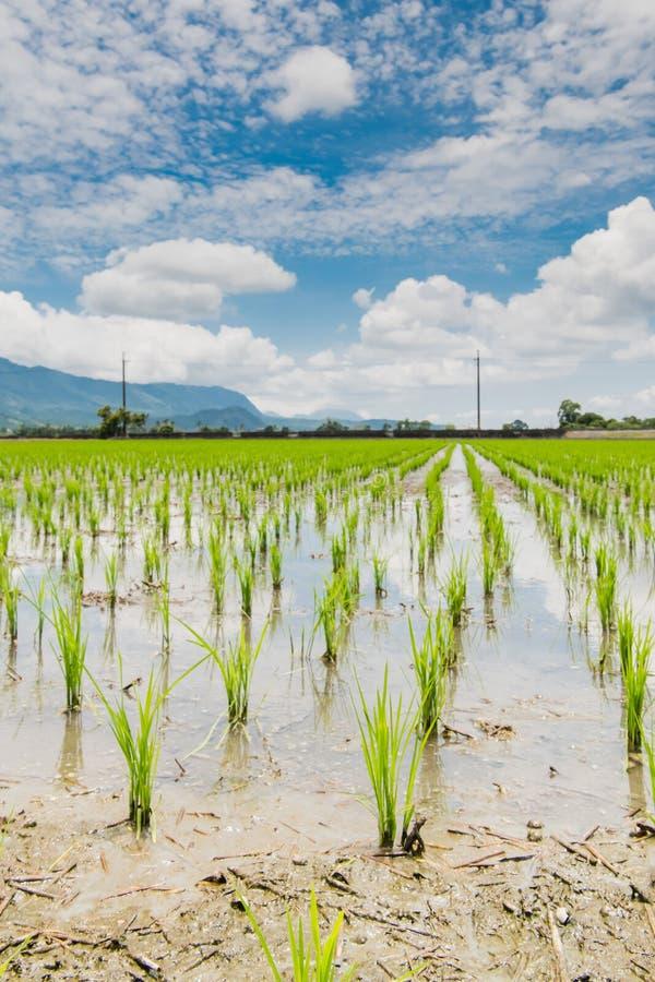 Αντανάκλαση των τομέων ορυζώνα, όμορφο φυσικό τοπίο των πράσινων τομέων ρυζιού σε αγροτικό Chishang, Taitung, Ταϊβάν στοκ φωτογραφίες με δικαίωμα ελεύθερης χρήσης