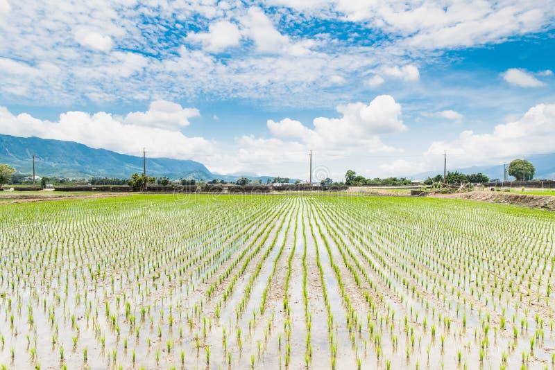 Αντανάκλαση των τομέων ορυζώνα, όμορφο φυσικό τοπίο των πράσινων τομέων ρυζιού σε αγροτικό Chishang, Taitung, Ταϊβάν στοκ φωτογραφία