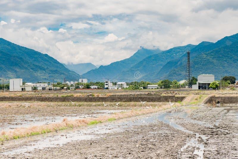 Αντανάκλαση των τομέων ορυζώνα, όμορφο φυσικό τοπίο των πράσινων τομέων ρυζιού σε αγροτικό Chishang, Taitung, Ταϊβάν στοκ εικόνα
