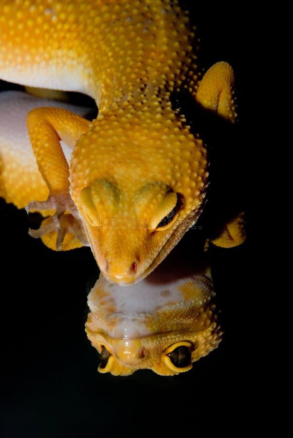 Αντανάκλαση Gecko λεοπαρδάλεων στοκ φωτογραφία