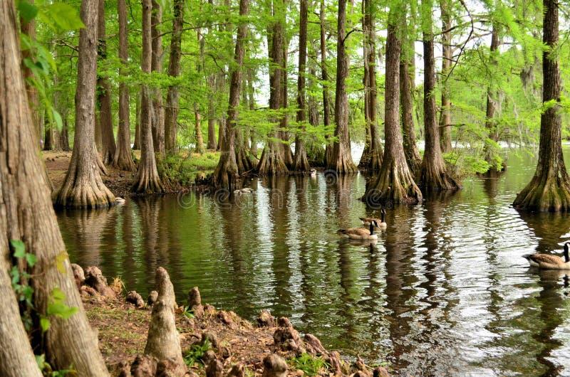 Αντανάκλαση δέντρων κυπαρισσιών, γόνατο δέντρων κυπαρισσιών στοκ φωτογραφία με δικαίωμα ελεύθερης χρήσης