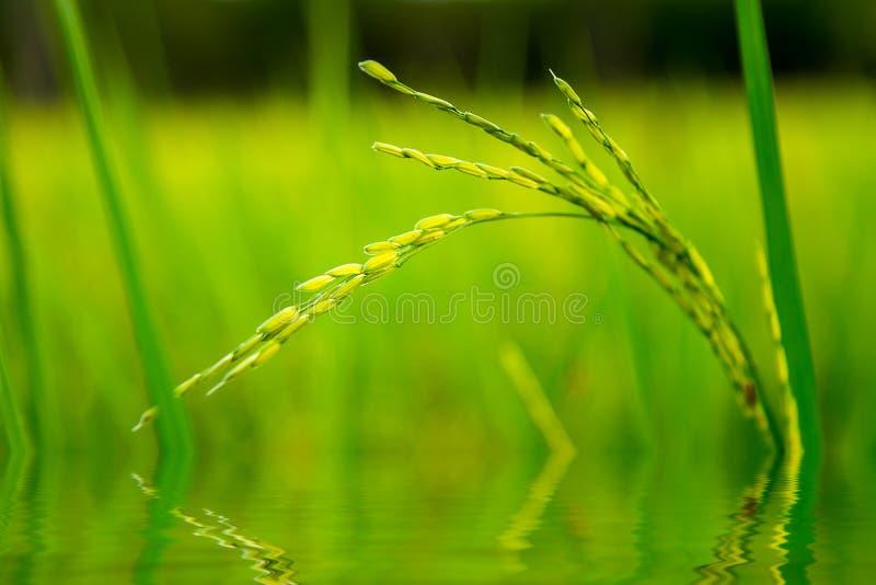Αντανάκλαση νερού ρυζιού ορυζώνα στοκ εικόνες με δικαίωμα ελεύθερης χρήσης