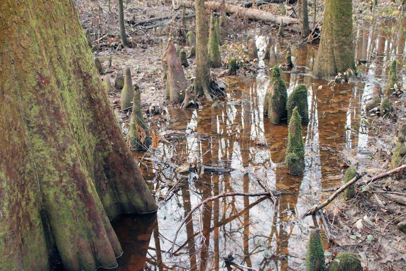 Αντανάκλαση στο νερό στο εθνικό πάρκο Congaree στοκ εικόνα