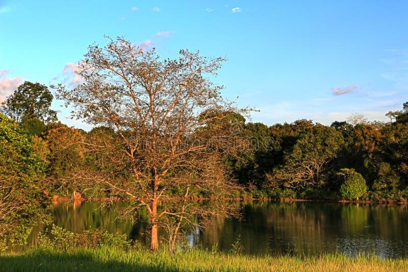 Αντανάκλαση του δέντρου πεύκων σε μια λίμνη, εθνικό πάρκο Khaoyai Yai, Ταϊλάνδη στοκ εικόνα