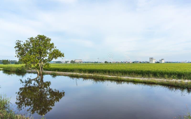 Αντανάκλαση του δέντρου στον τομέα ορυζώνα στοκ εικόνα με δικαίωμα ελεύθερης χρήσης