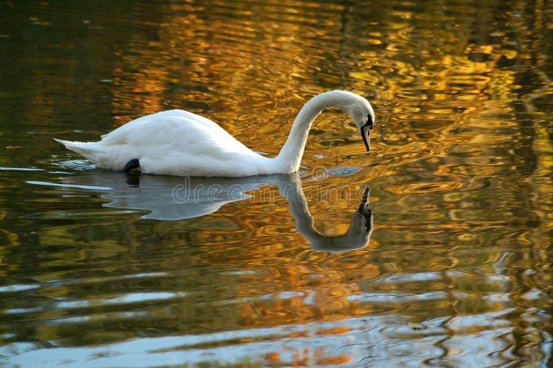 Αντανάκλαση του λευκού βουβού Κύκνου που κολυμπά στη χρυσή λίμνη στοκ εικόνα με δικαίωμα ελεύθερης χρήσης