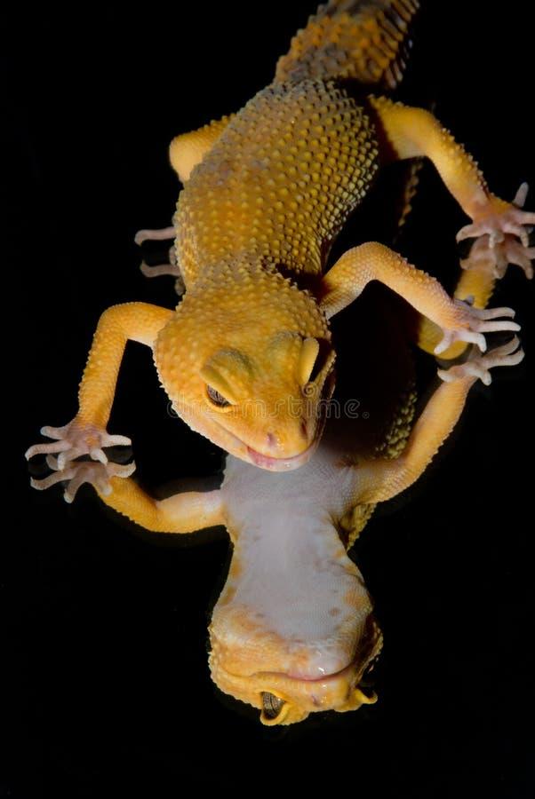 Αντανακλάσεις Gecko λεοπαρδάλεων στοκ εικόνα με δικαίωμα ελεύθερης χρήσης