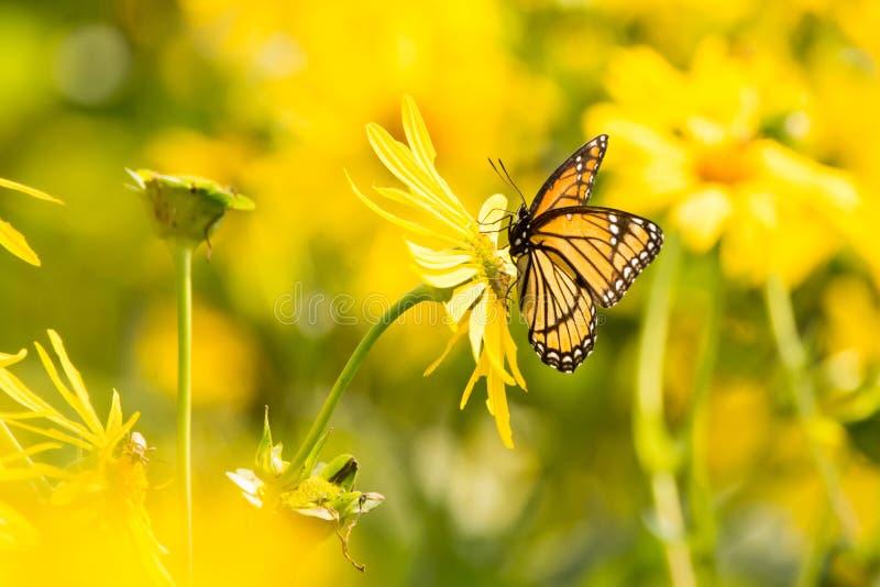 Αντιβασιλέας Πεταλούδα στοκ εικόνες