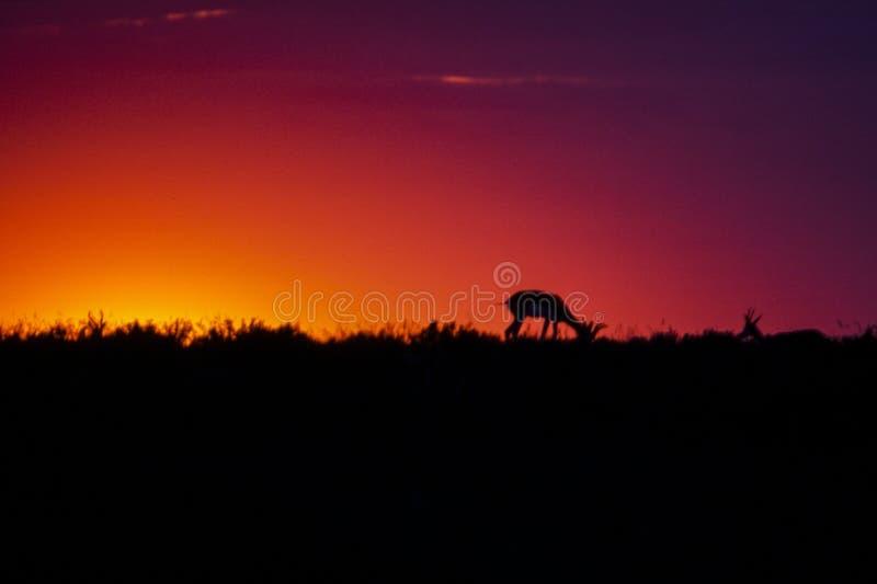 Αντιδορκάδα στο ηλιοβασίλεμα στοκ φωτογραφία με δικαίωμα ελεύθερης χρήσης