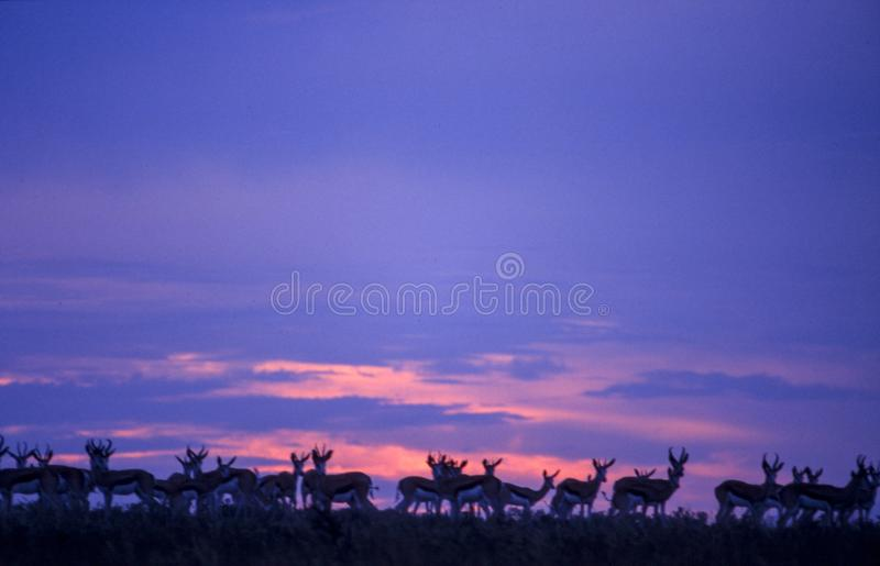 Αντιδορκάδα στο ηλιοβασίλεμα στοκ φωτογραφίες με δικαίωμα ελεύθερης χρήσης