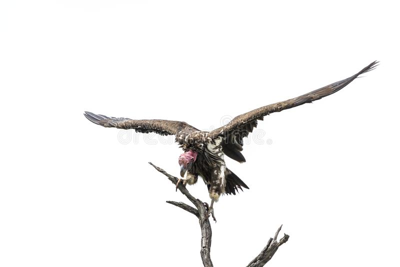 Αντιμέτωπος Lappet γύπας στο εθνικό πάρκο Kruger, Νότια Αφρική στοκ εικόνα